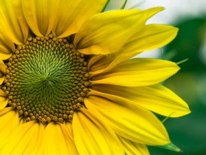 fleur soleil tournesol atelier dinard